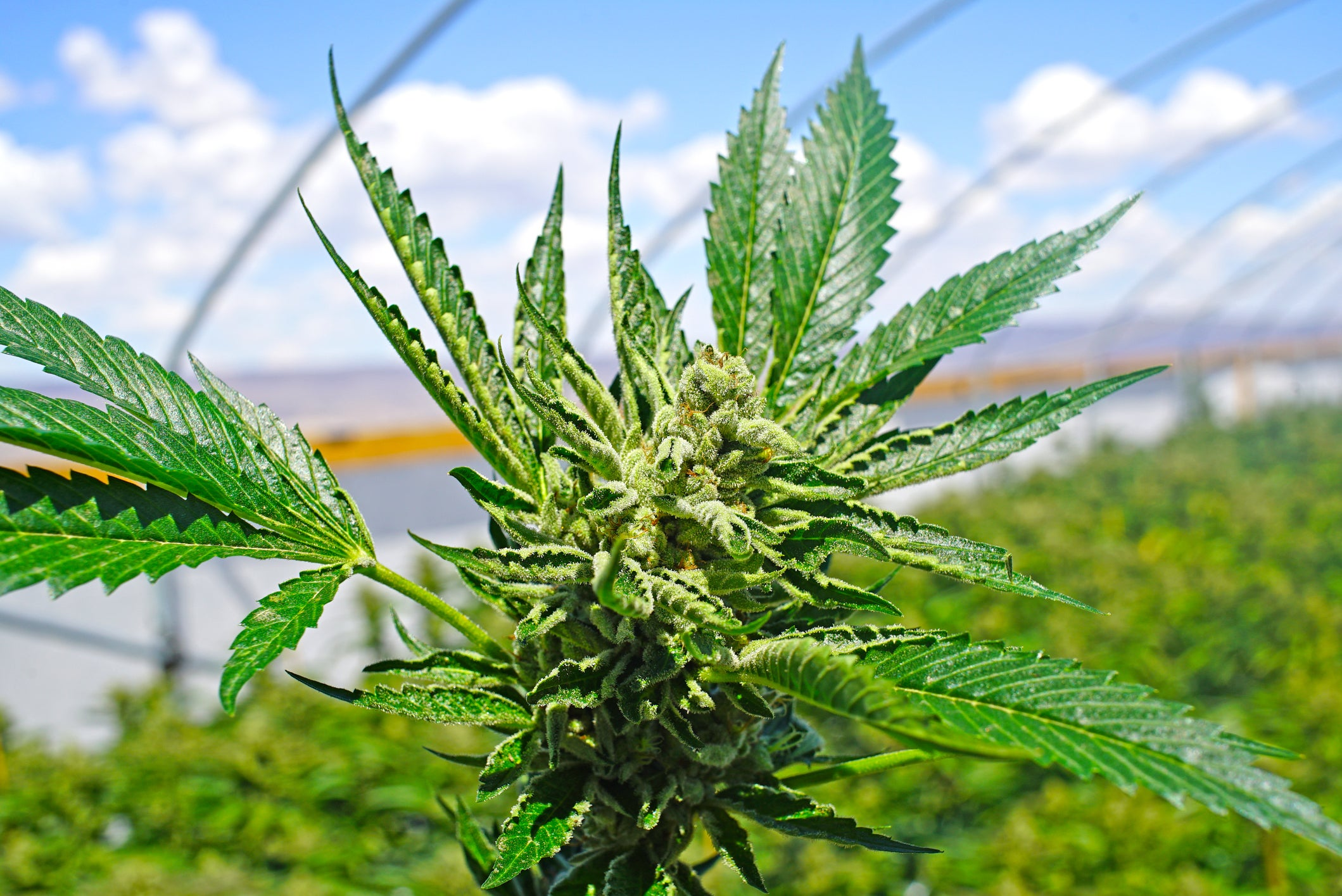 CBG Hemp – Everything You Should Know About This New Strain